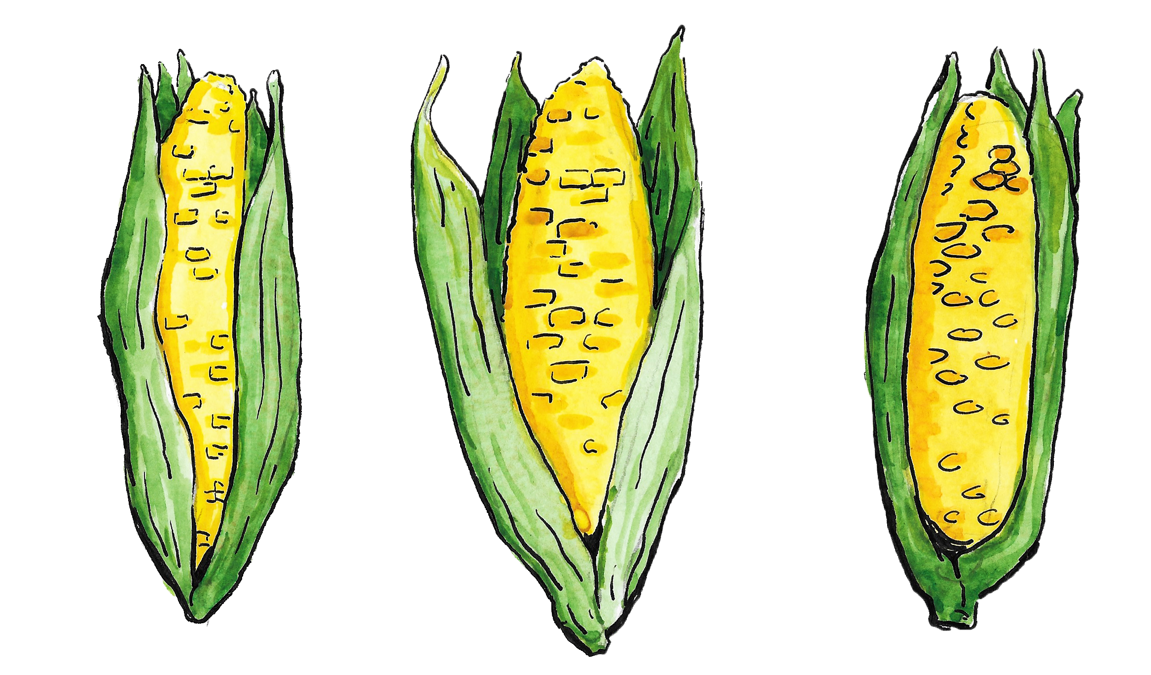 An illustration showing three ears of corn.