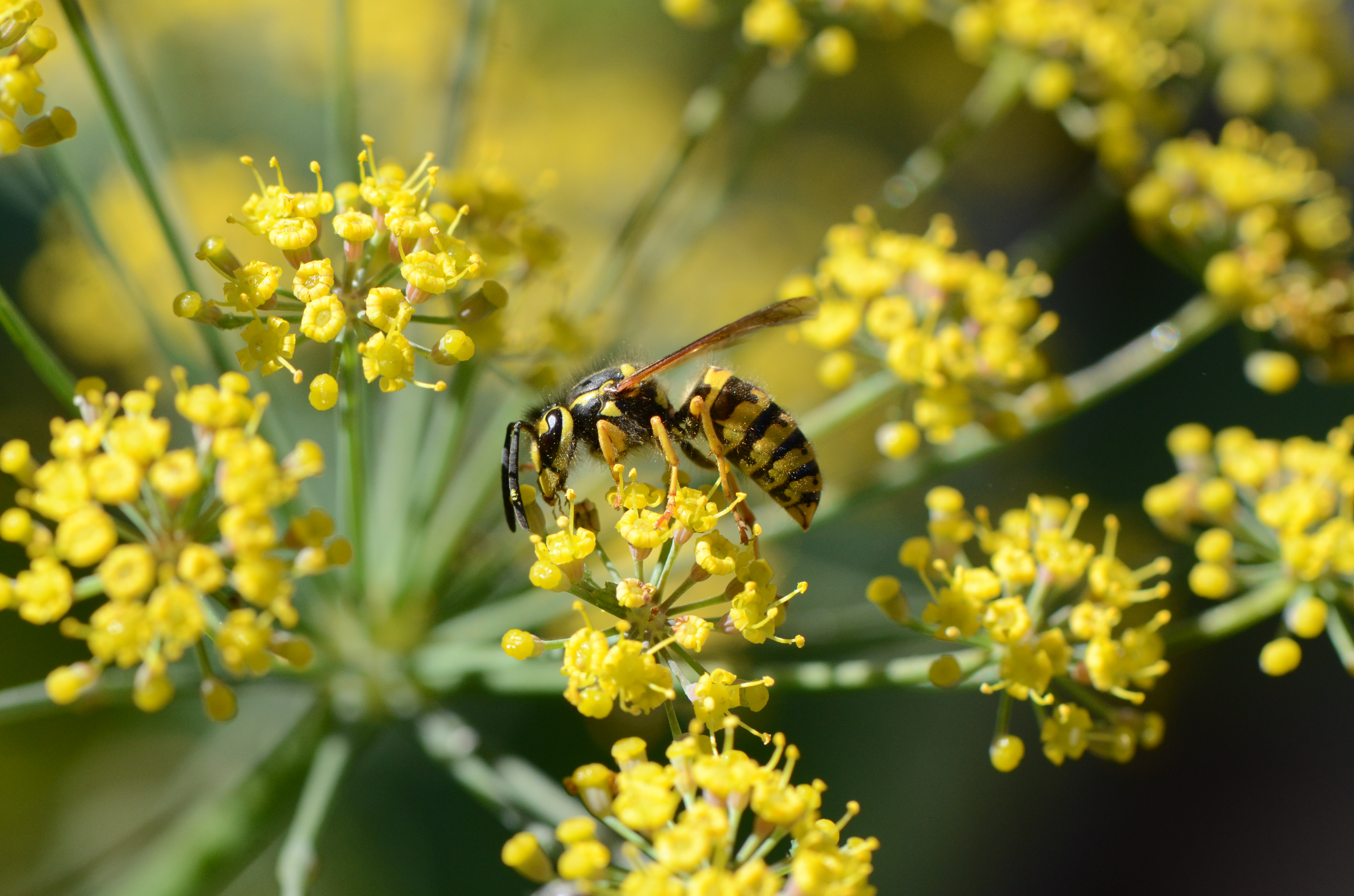 A western yellowjacket in the process of pollination.